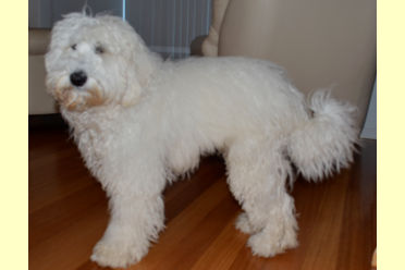 labradoodle sire beech