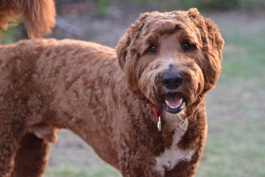 labradoodle sire chestnut