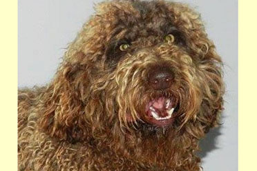 labradoodle sire olivier