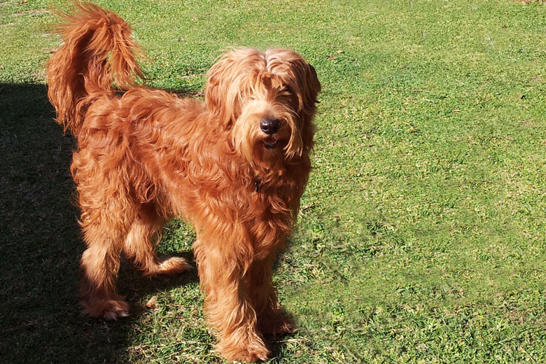 labradoodle sire redheart